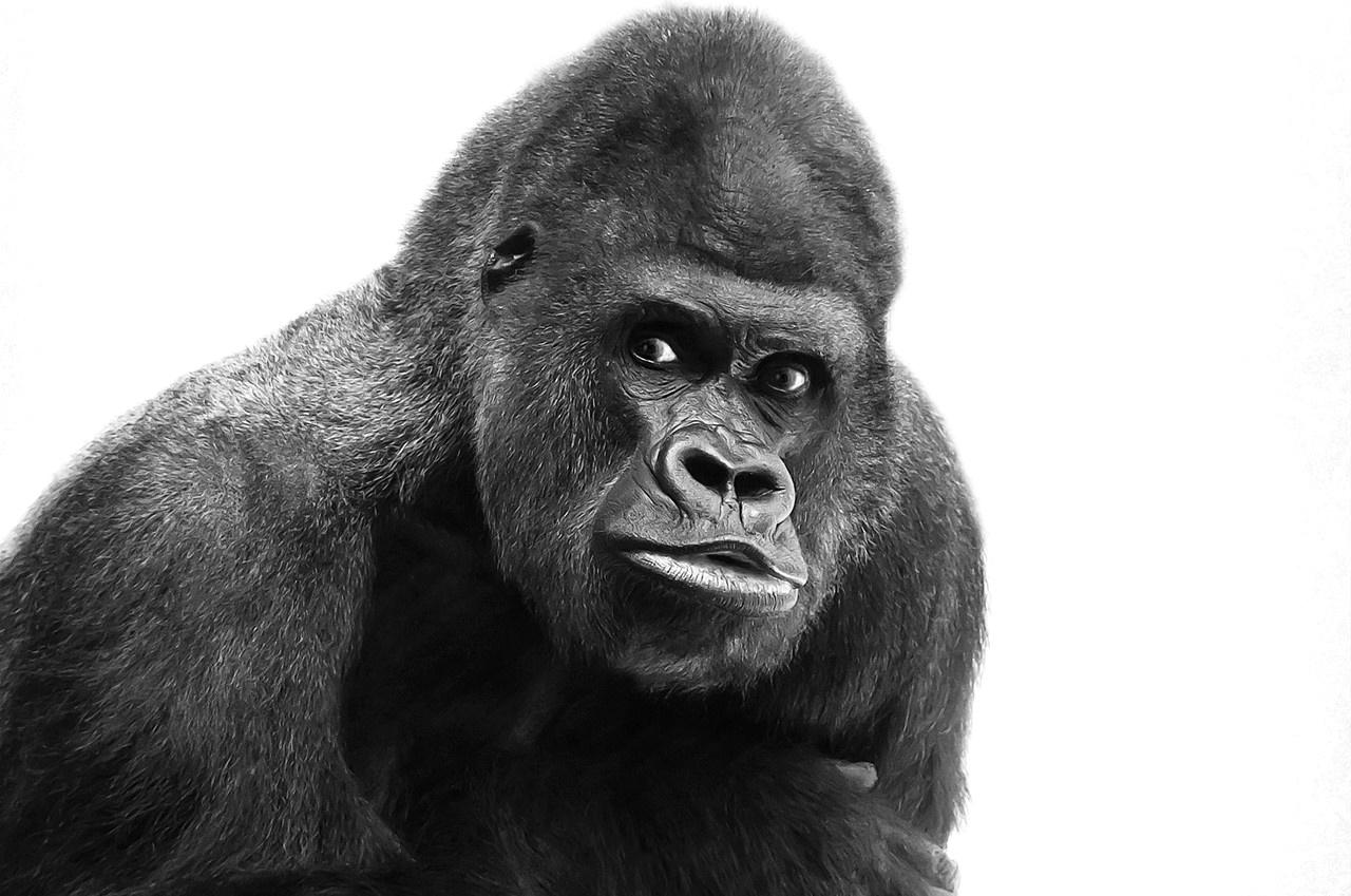 Symbolbild für Duplicate Content: Gorilla, der nicht selbst schreiben kann